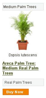 Areca Palm Tree - Medium