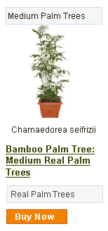 Bamboo Palm Tree - Medium