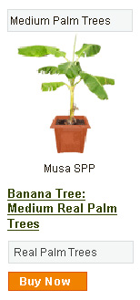 Banana Tree - Medium