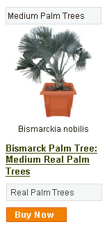 Bismarck Palm Tree - Medium