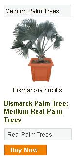 Bismarck Palm Tree - Medium