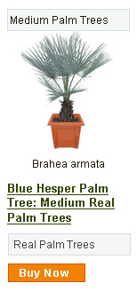 Blue Hesper Tree - Medium