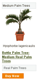 Bottle Palm Tree - Medium