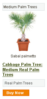 Cabbage Palm Tree - Medium