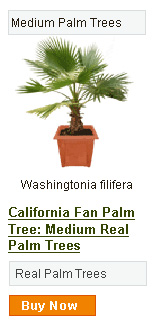 California Fan Palm Tree - Medium