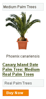 Canary Island Date Palm Tree - Medium