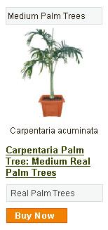 Carpentaria Palm Tree - Medium