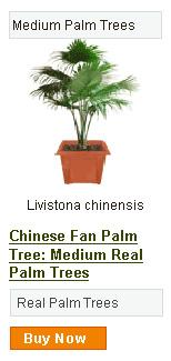 Chinese Fan Palm Tree - Medium