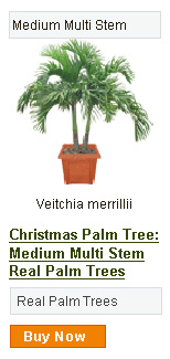 Christmas Palm Tree - Medium Multi Stem