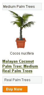 Coconut Palm Tree Green Malayan - Medium