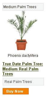Date Palm Tree - Medium