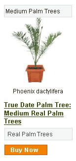 Date Palm Tree - Medium