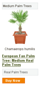 European Fan Palm Tree - Medium