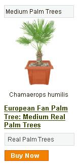 European Fan Palm Tree - Medium