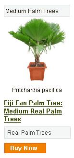 Fiji Fan Palm Tree - Medium