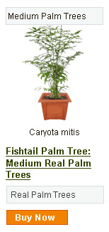 Fishtail Palm Tree - Medium