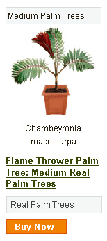 Flame Thrower Palm Tree - Medium