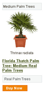 Florida Thatch Palm Tree - Medium