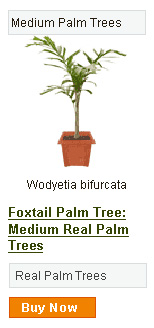 Foxtail Palm Tree - Medium