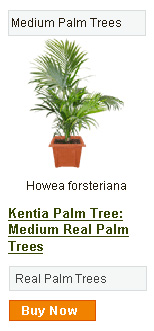 Kentia Palm Tree - Medium