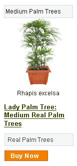 Lady Palm Tree - Medium