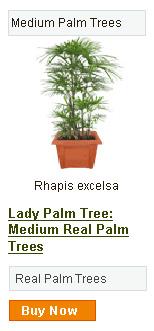 Lady Palm Tree - Medium
