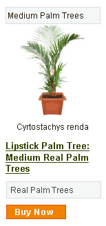 Lipstick Palm Tree - Medium