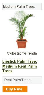 Lipstick Palm Tree - Medium