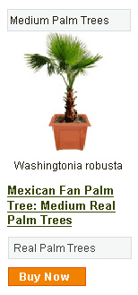 Mexican Fan Palm Tree - Medium