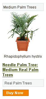 Needle Palm Tree - Medium