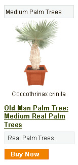 Old Man Palm Tree - Medium