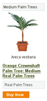 Orange Crownshaft Palm Tree - Medium