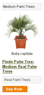 Pindo Palm Tree - Medium