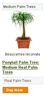Ponytail Palm Tree - Medium