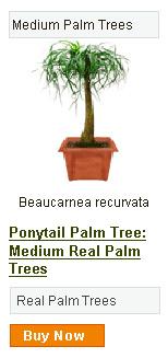 Ponytail Palm Tree - Medium