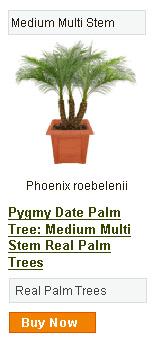 Pygmy Date Multi Stem Palm Tree - Medium