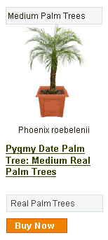 Pygmy Date Palm Tree - Medium