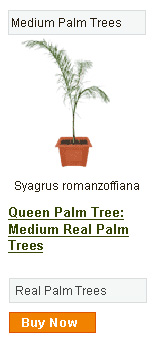 Queen Palm Tree - Medium
