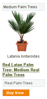 Red Latan Palm Tree - Medium
