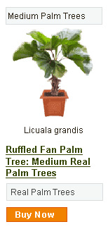 Ruffled Fan Palm Tree - Medium