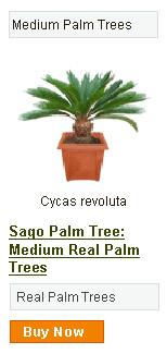 Sago Palm Tree - Medium