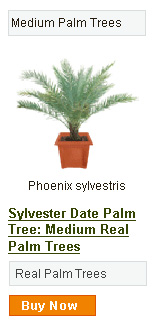 Sylvester Date Palm Tree - Medium