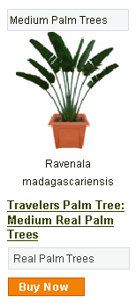 Travelers Palm Tree - Medium