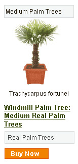 Windmill Palm Tree - Medium