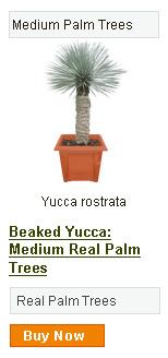 Beaked Yucca - Medium