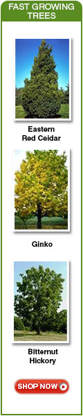 Gingko is a fast growing tree