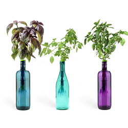 Urban Leaf Exotic Basil Bottle Garden